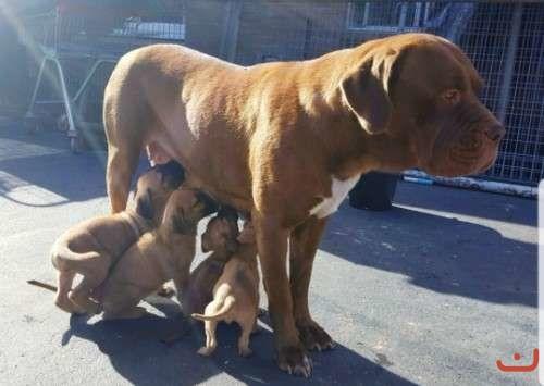 CANECORSO  PUREBREED PUPPIES