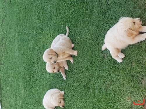 7 beauitful pure bred golden retrievers