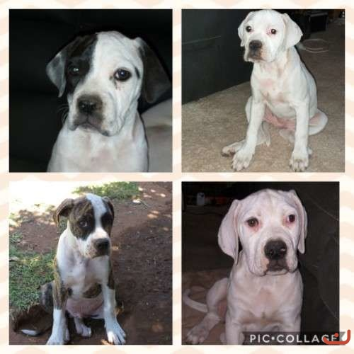 Purebred American Bulldog Puppies