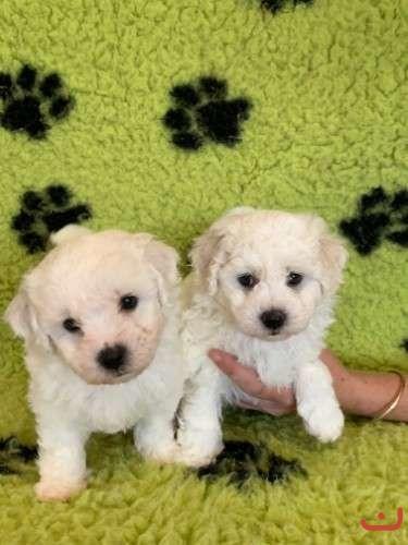 Adorable Purebred Bichon Frise Puppies