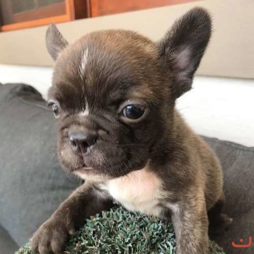 Pure Bred Male French Bulldog Puppy For Sale