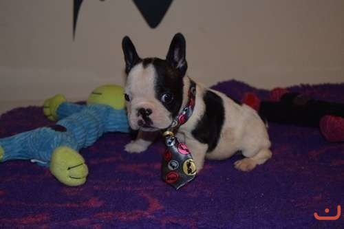 French bulldog pups males only