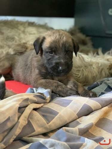 Pure breed Irish wolfhound puppies
