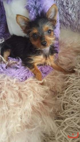 gorg  TINY YORKIE PUPPIES 1 MALE AND 1 TINY FEMALE