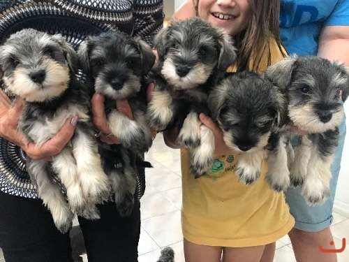 Miniature Schnauzer puppies for sale 6wks old