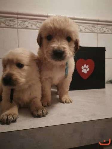 Pure Bred Golden Retriever Puppy! 2 Male Left!