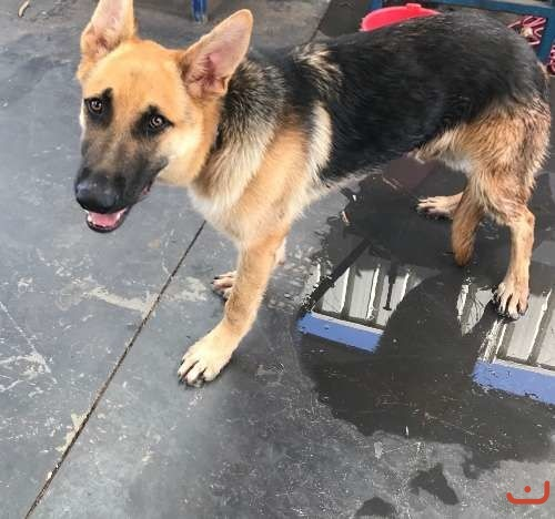 Urgent German Shepherd 7mths old vaccinated microchipped
