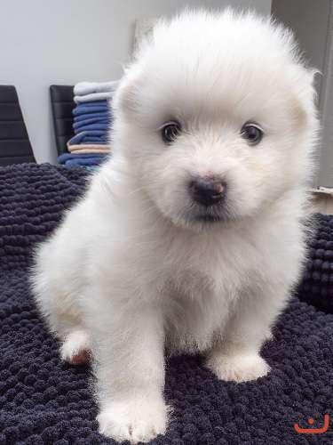 Purebred female samoyed pups