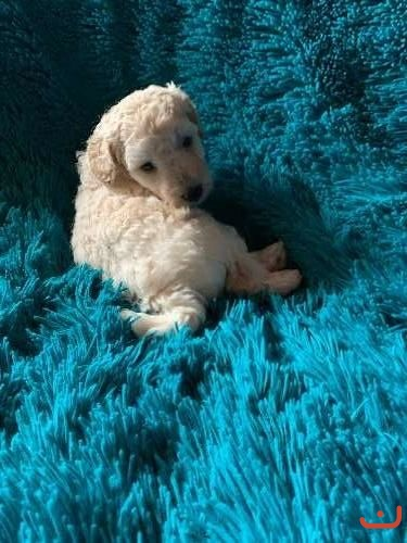 Poodle (Toy poodle purebred puppies)