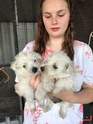 West Highland White Terrier (Westie) male pups for sale