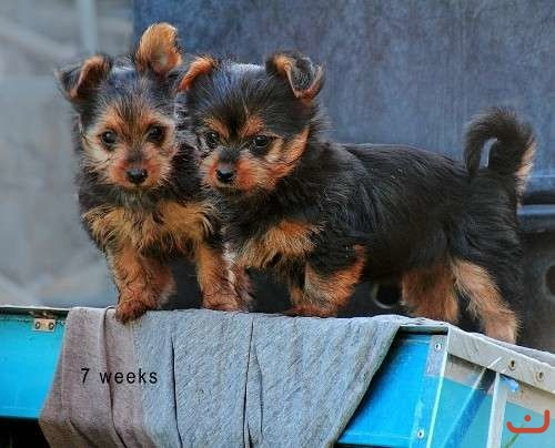 Female silky terrier pups