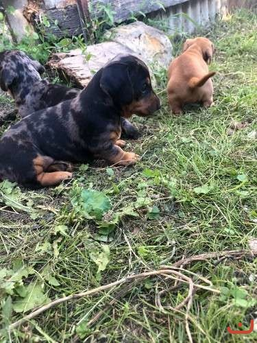Miniature Dachshunds need forever homes