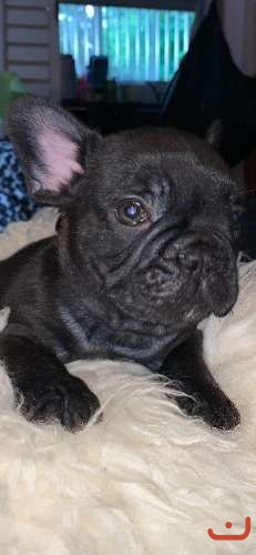 Pure breed French bull dog puppies