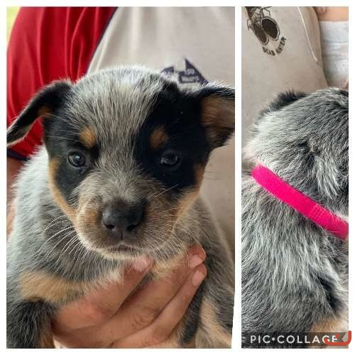 PUREBRED AUSTRALIAN CATTLE DOG PUPS
